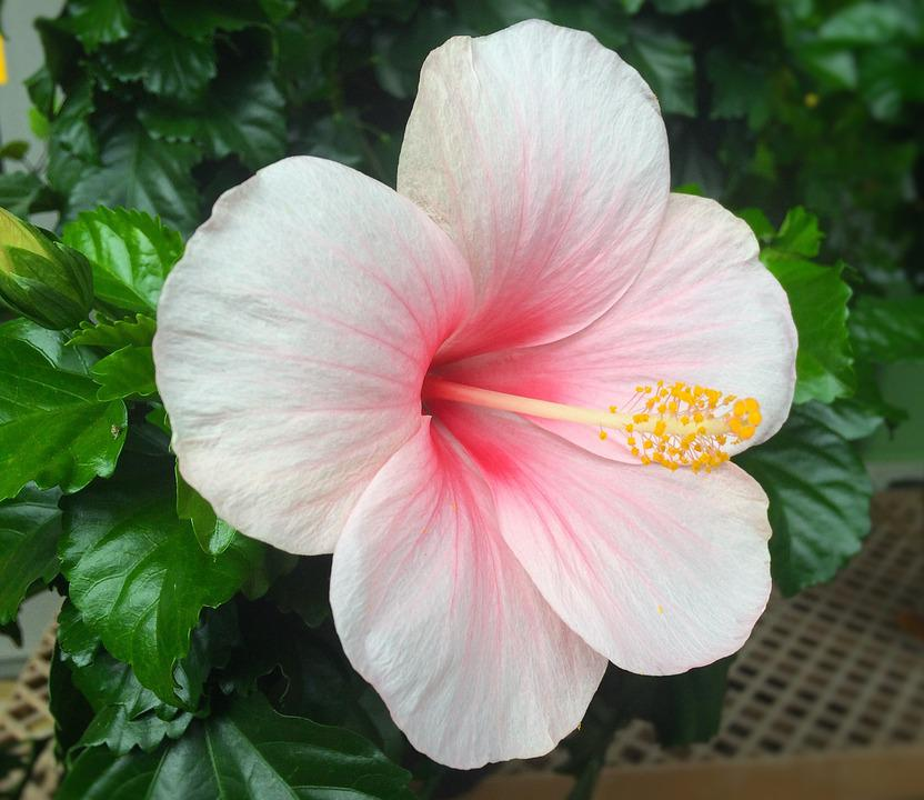 Free Photo Hibiscus Flowers Huang Red Southern Countries Max Pixel