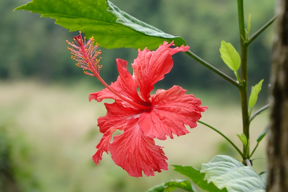 Hibiscus, Fuso, China Roses