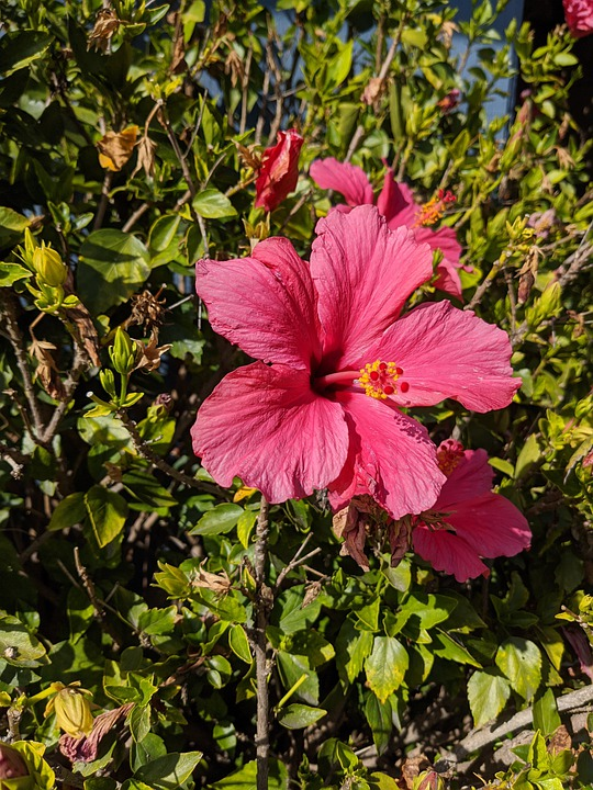 Hibiscus, Pink, Flower, Bloom, Nature, Tropical, Floral