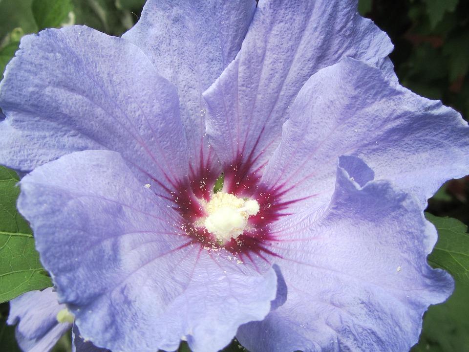 Hibiscus, Purple, Flower, Petal, Macro, Floral