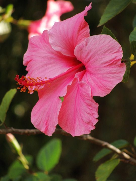 Flower, Hibiscus Pink, Plant, Petals, Tropical