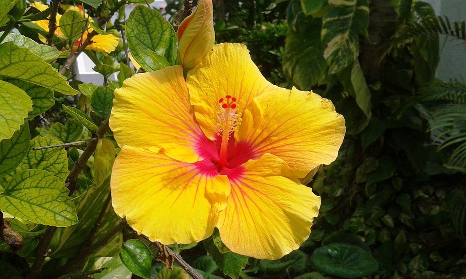 Plant, Flower, Hibiscus, Yellow Hibiscus, Close, Flora