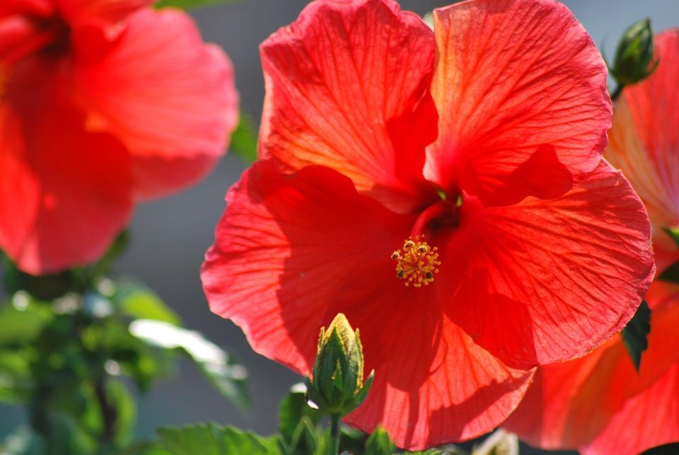 Free photo hibiscus pretty flowers bright summer orange max pixel flowers orange hibiscus pretty summer bright mightylinksfo