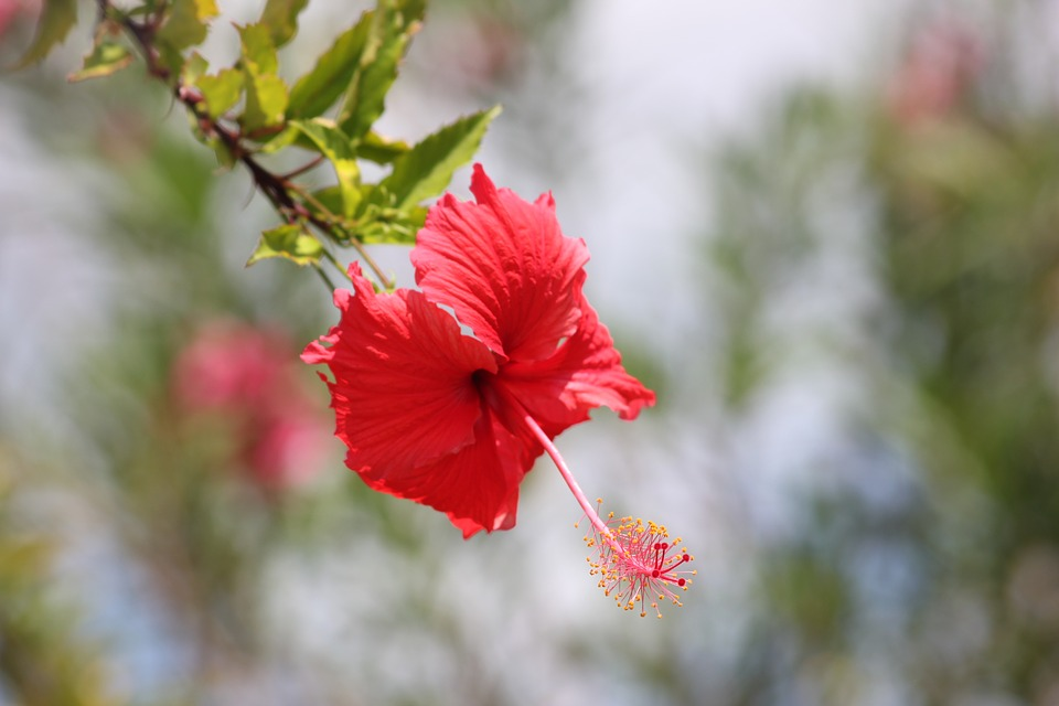 Hibiscus, Flowers, Red, Pretty, Relaxing