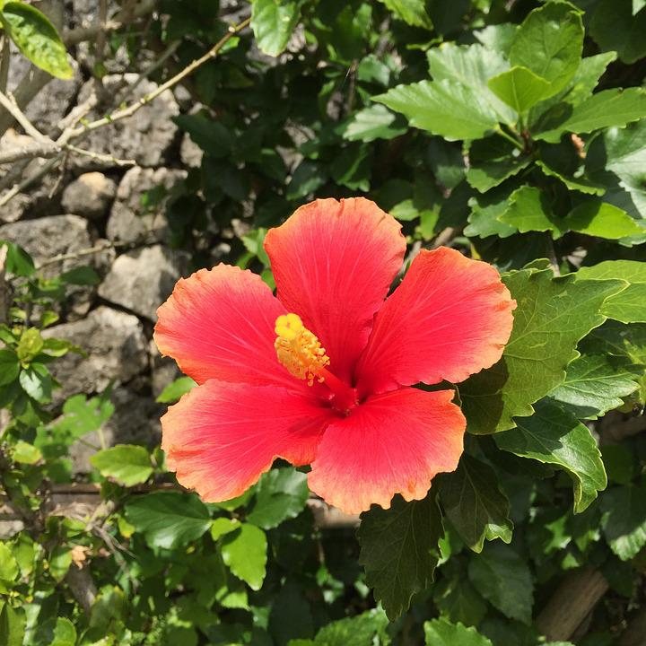 Hibiscus, Okinawa, Southern Countries