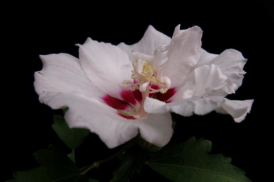 Garden Hibiscus, Hibiscus Syriacus, Speciosus