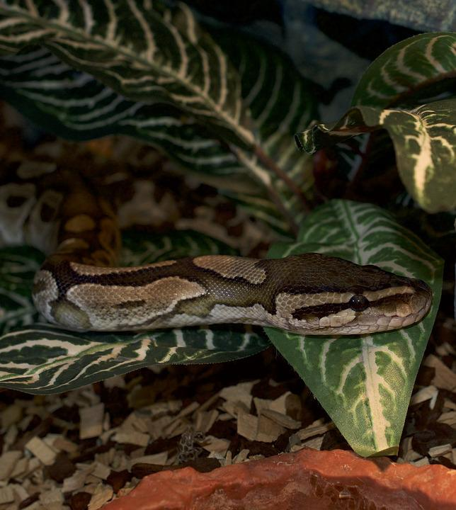 Snakehead, Python, Reptile, Animal World, Hidden, Snake