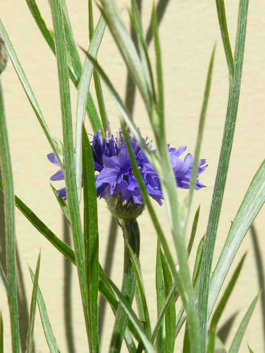 Cornflower, Hidden, Leaves, True Leaves, Lancet Shaped
