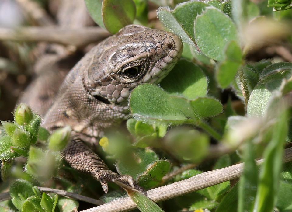 The Lizard, Reptile, Hidden, Grass