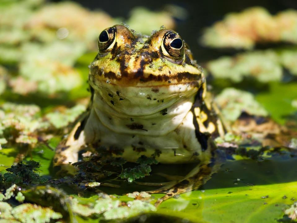 Animals, Frog, Frog Pond, Amphibian, Swim, High