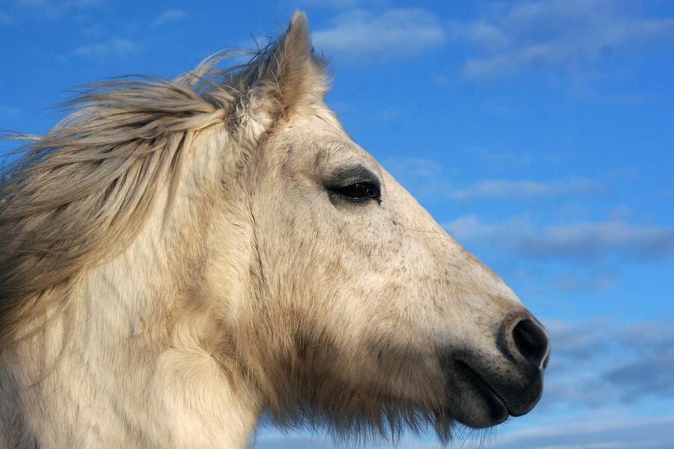 Horse, Pony, High Country Pony, Highland Pony, Mold