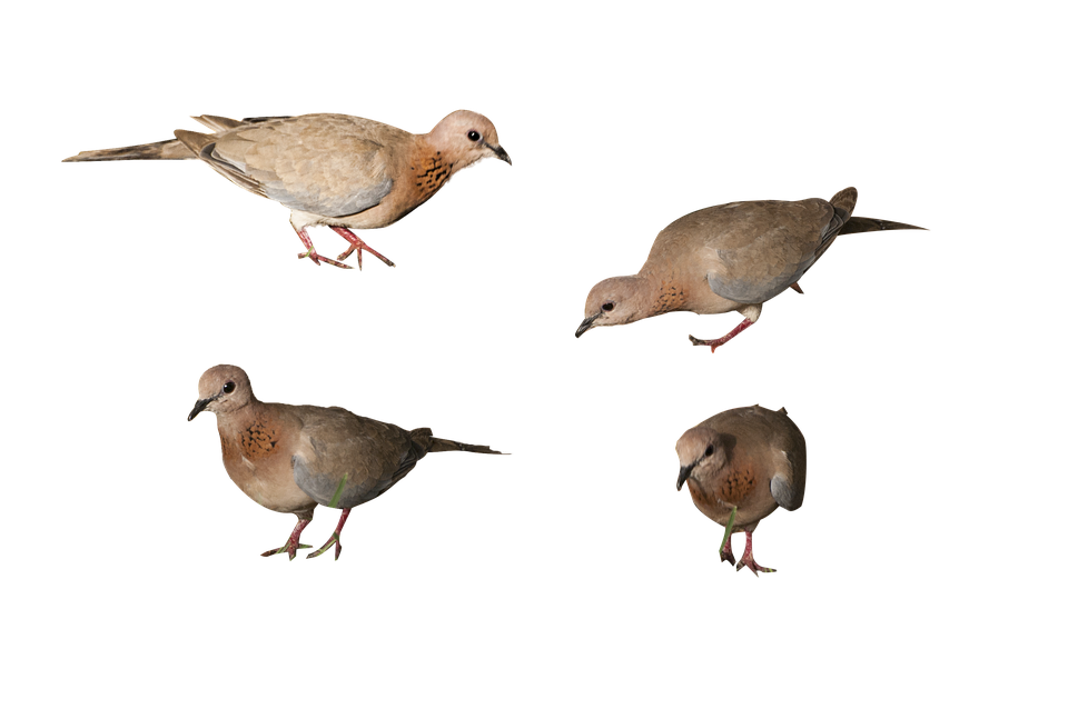 Birds, Png, Isolated Background, High Resolution