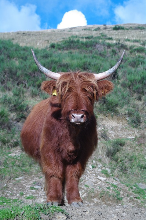 Highland Beef, Ticino, Nature Concretely