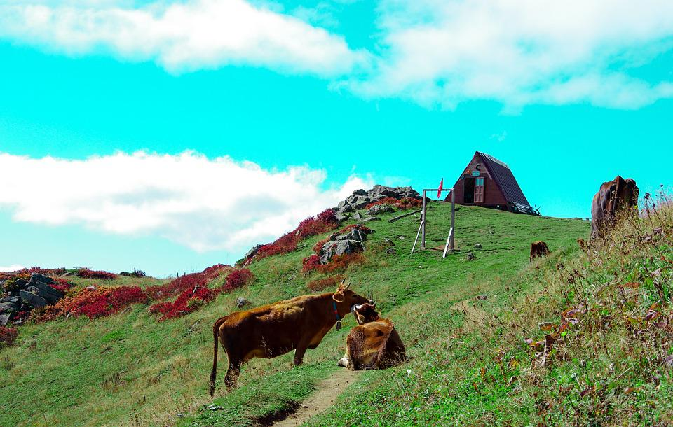 Nature, Huser, Cow, Home, Alps, Highland, Rize, Ayder
