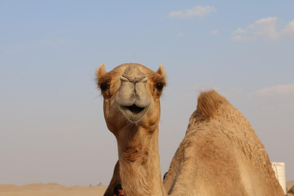 Free photo hill camel clouds sand desert sky dune dubai max pixel camel desert sand dubai dune sky clouds hill thecheapjerseys Choice Image
