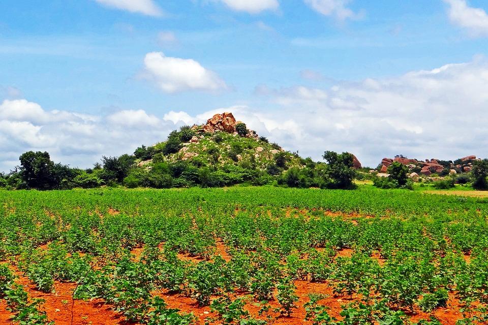 Cultivation, Cotton, Karnataka, Bellary, Hills, Farm
