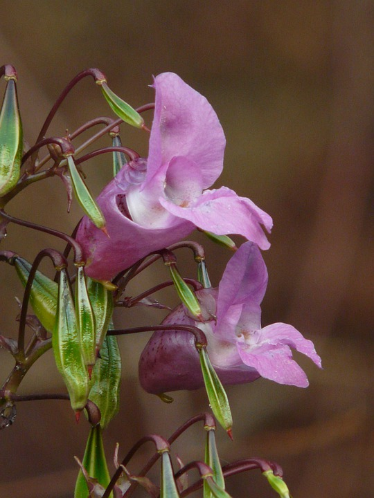 Himalayan Balsam, Blossom, Bloom, Bloom