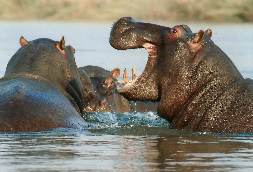 River Horse, Hippopotamus, Hippo, Animal, Namibia
