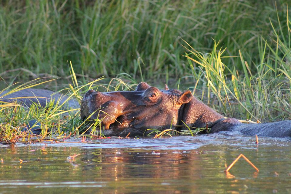 Hippo, Africa, Swamp