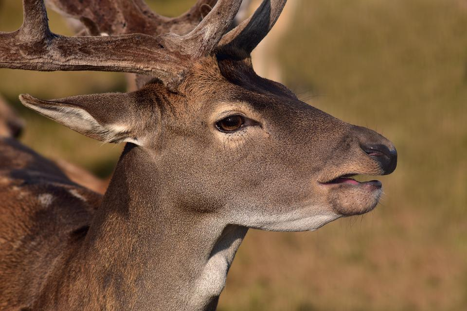 Fallow Deer, Portrait, Pipe, Hirsch, Red Deer, Head