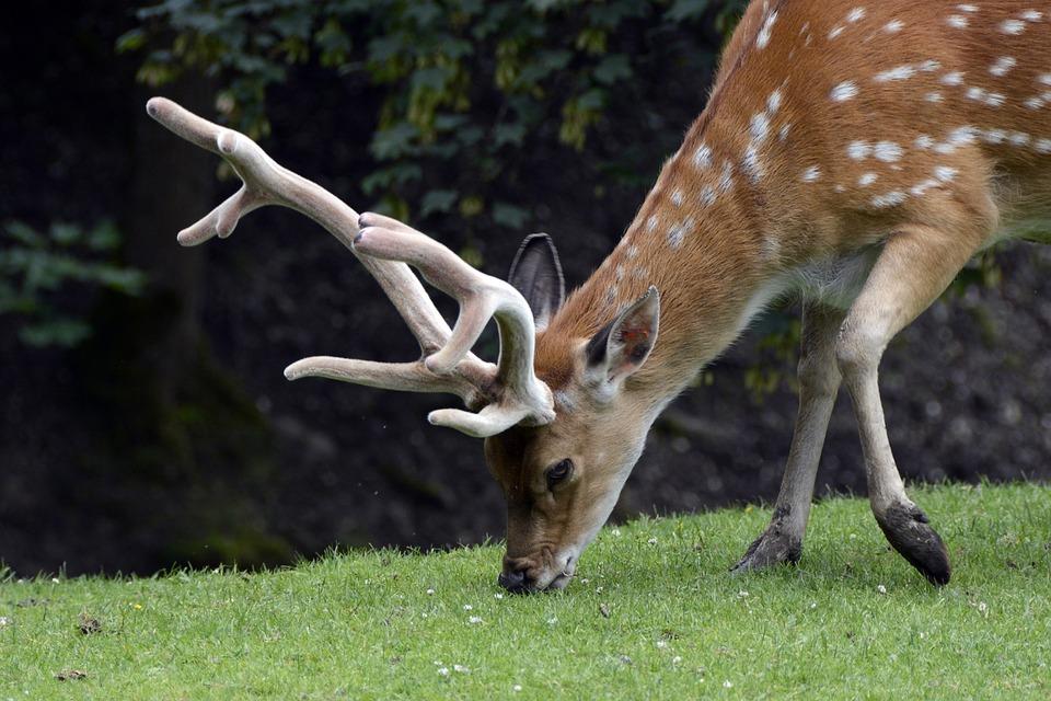 Fallow Deer, Hirsch, Animal, Nature, Antler