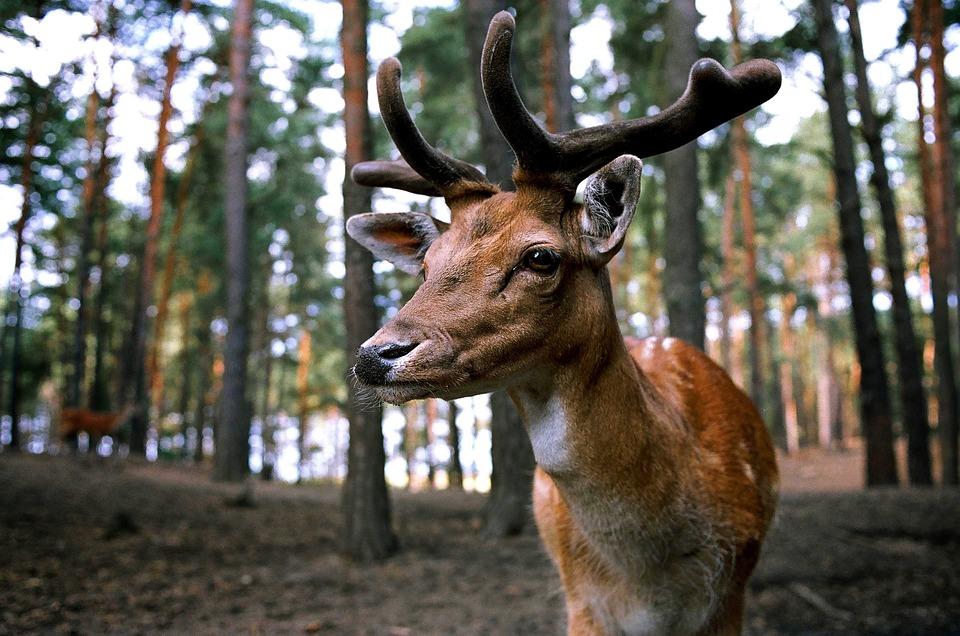 Hirsch, Forest, Wild, Fallow Deer, Paarhufer, Nature