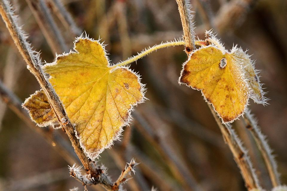 Autumn, Leaf, Hoarfrost, Currant, Yellow, Fall Color