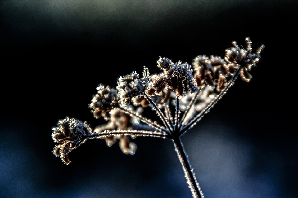 Flower, Plant, Winter, Frost, Cold, Frozen, Hoarfrost