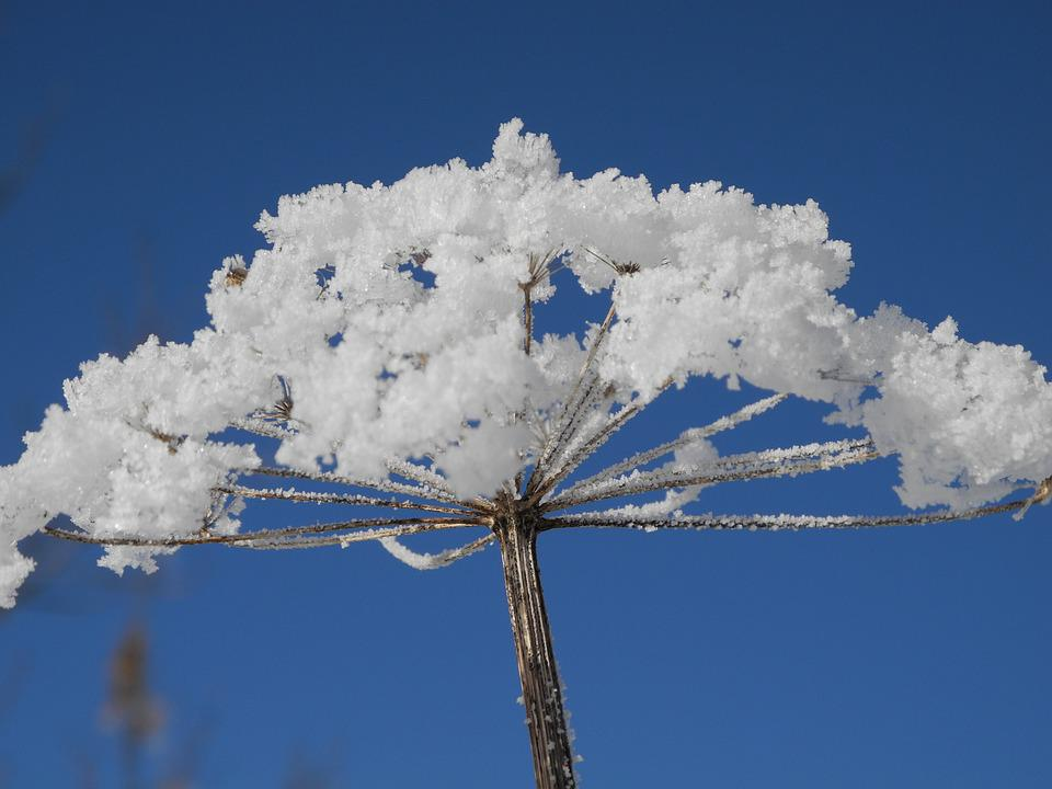 Hoarfrost, Flower, Hogweed, Winter, Snow