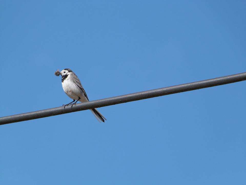 White Wagtail, Bird, Hochequeue, Perched On A Wire