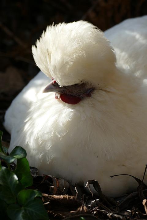 Chicken, Them, Hoen, Poultry, Fauna, Egg, Nest, Crest
