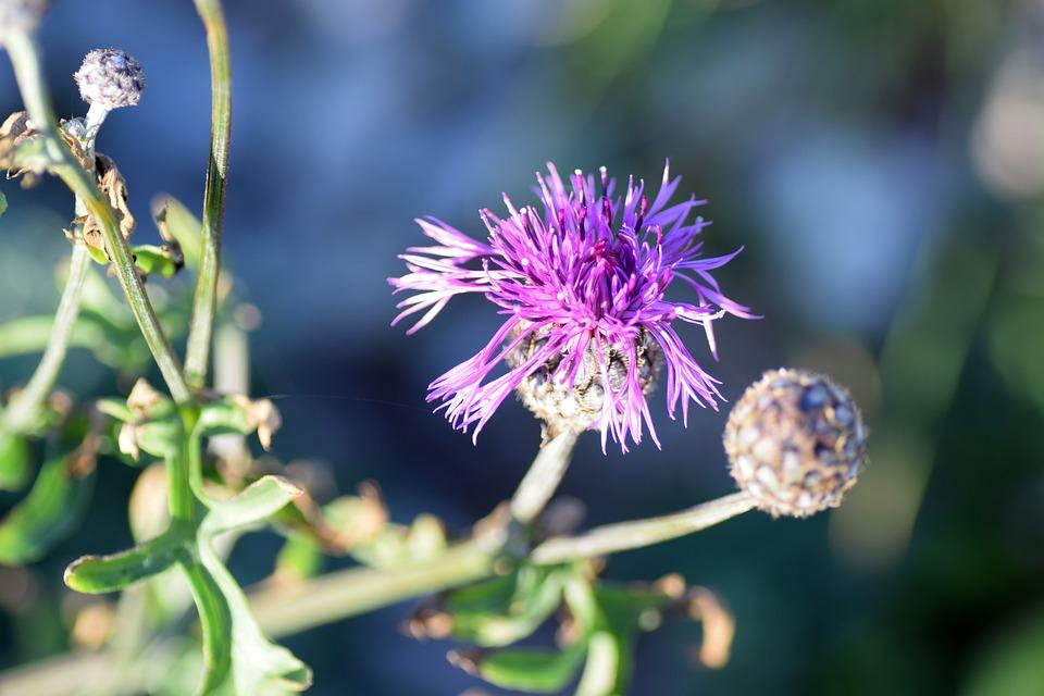 Väddklint, Höstblomster, Weeds