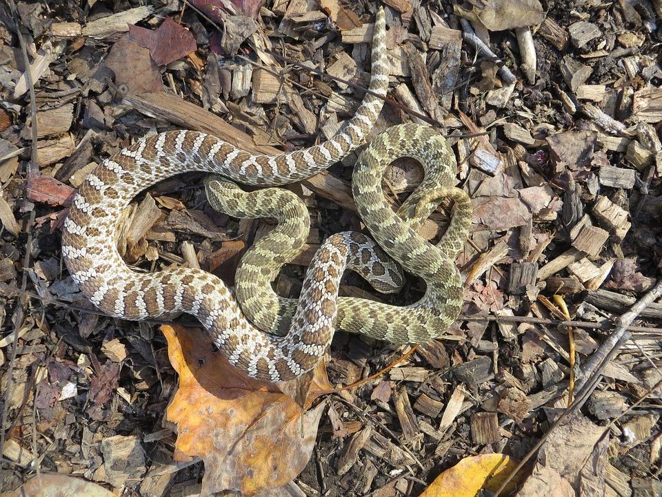 Animal, Wildlife, Snake, Reptile, Hognose, Camouflage