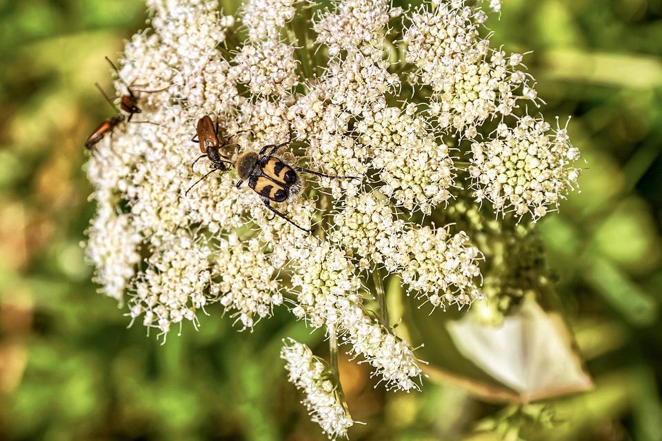 Meadow Hogweed, Plant, White, Hogweed, Flora