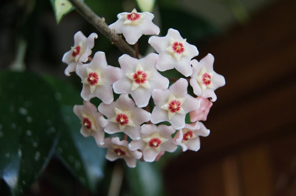 Hoya, Flower, Houseplant, Hoji Flower, Hoya Carnosa