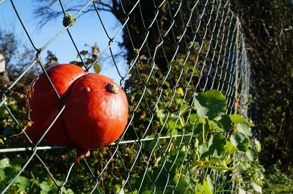 Hokkaido, Pumpkin, Autumn, Ingrowing, Overgrown, Fence