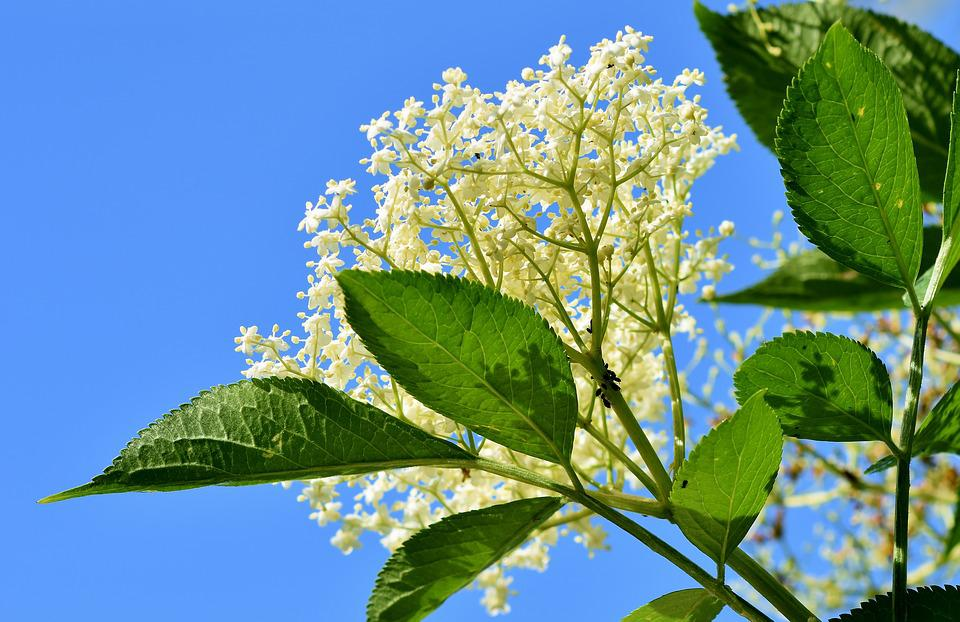 Elder, Elderflower, Holder Bush, Black Elderberry