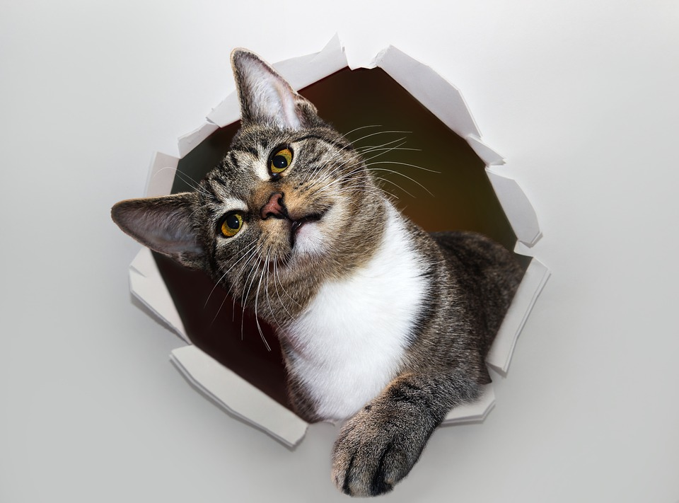 Cat, Pet, Hole, Wall, Paper, Torn, Animal, Domestic Cat