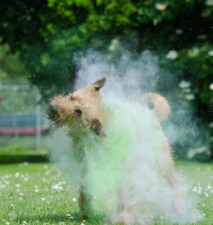 Holi Colour, Colorful, Irish Terrier, Color Mist, Fog