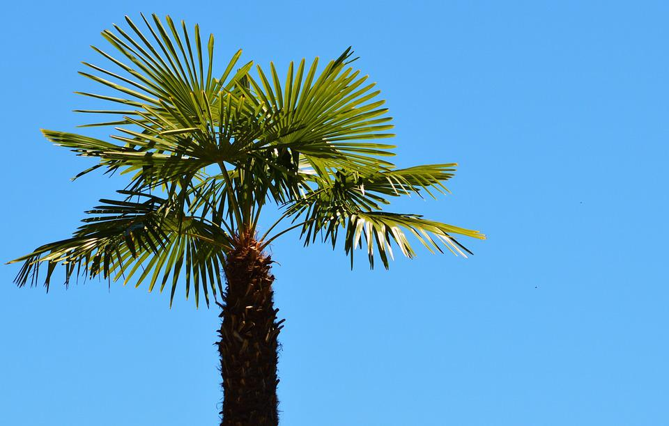 Palm, Plant, Fan Palm, Palm Tree, Sky, Summer, Holiday