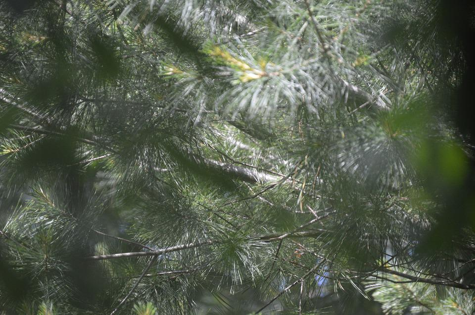 Green, Pine, Evergreen, Season, Winter, Holiday, Tree