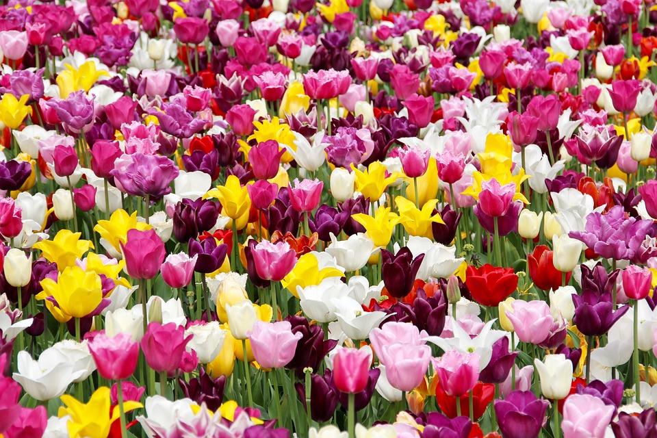 Tulip Field, Holland, Dutch, Tulip Cup