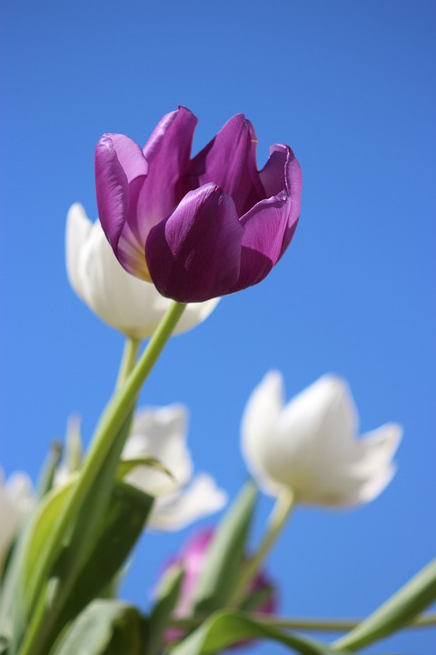 Tulips, Purple, Flower, Perennial, Holland, Spring