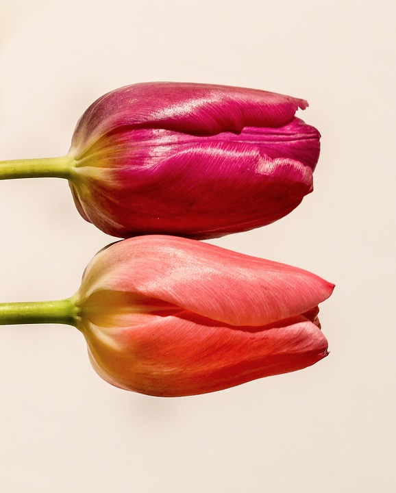 Tulip, Flower, Pink, Red, Colorful, White, Holland
