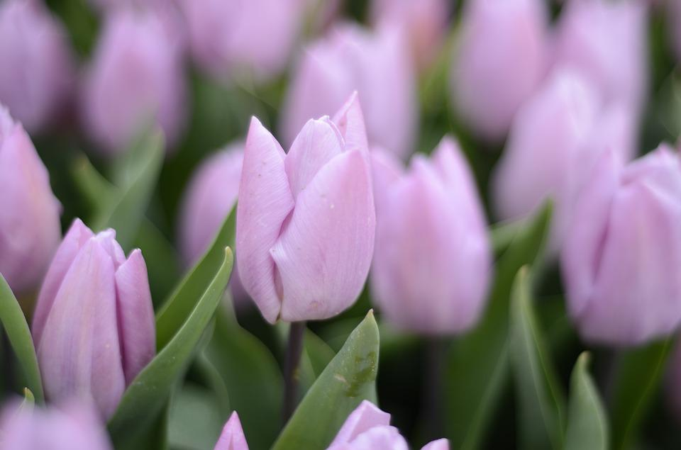 Purple, Tulips, Holland, Flower
