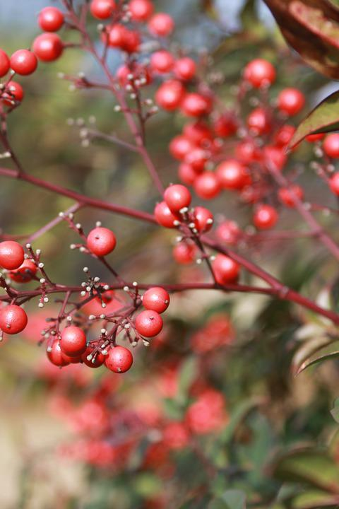 Tree, Bush, Berry, Holly, Landscape, Branch, Red