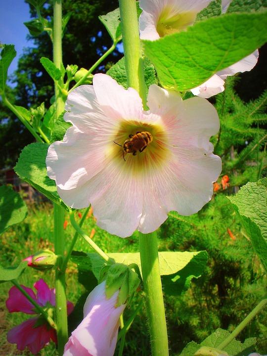 Hollyhock, Bee, Flower, Nature, Garden, Summer, Pink