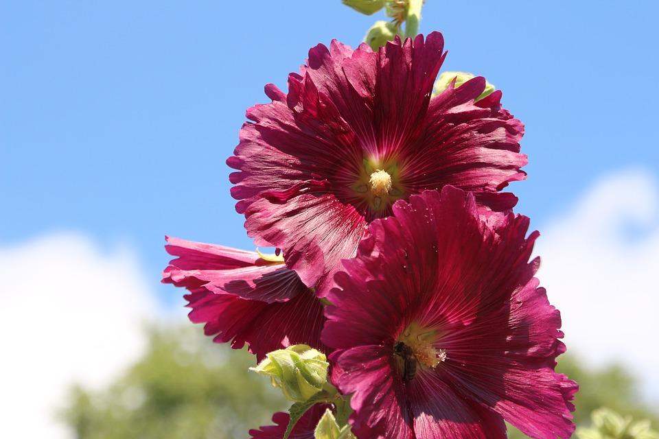 Mallow, Summer, Hollyhock Flower, Stock Rose, Garden