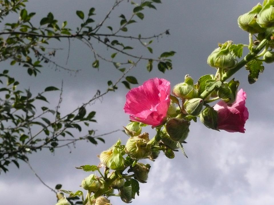 Hollyhock, Alcea Rosea, Pink, Rosea, Flower, Bloom