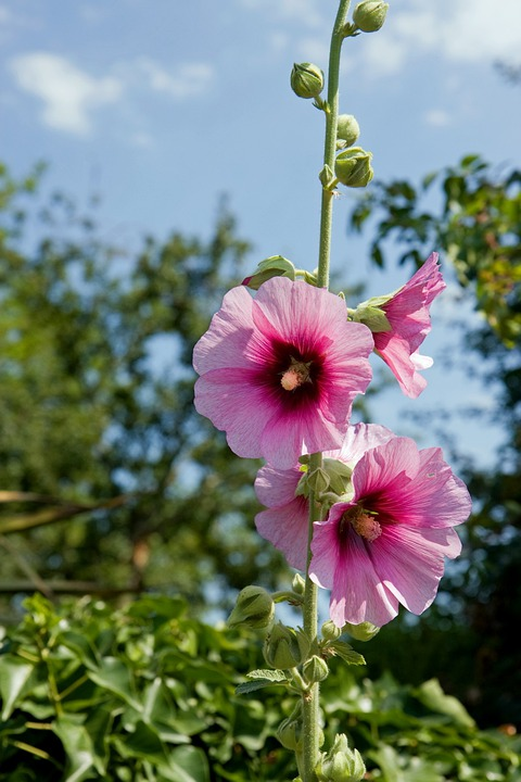 Flowers, Hollyhock, Hollyhocks, Pink, Close-up